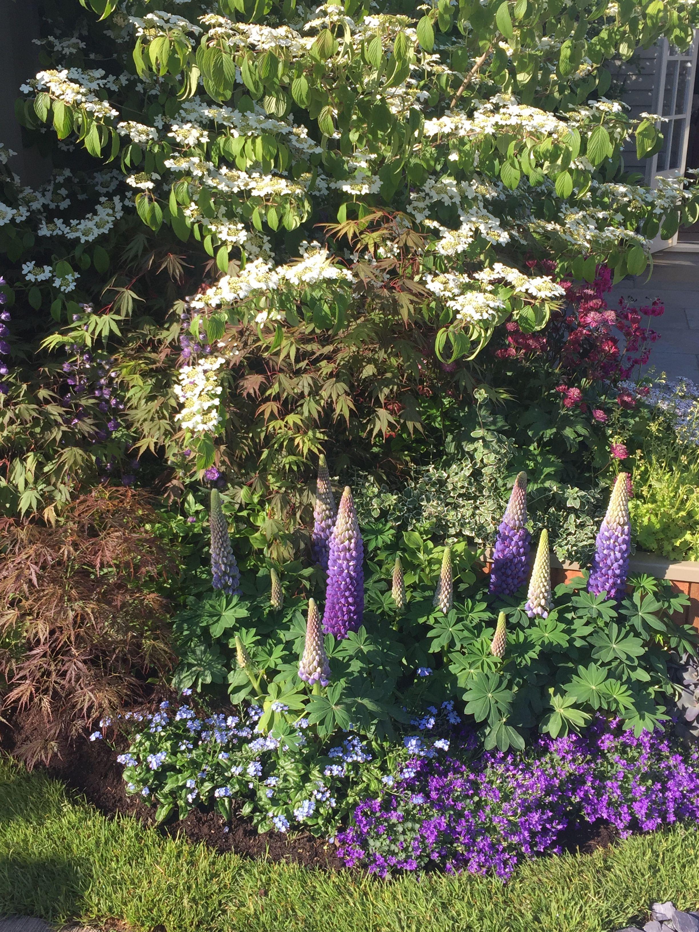 Viburnum And Lupins Chelsea Flower Show 2019 Jt Sloped Garden