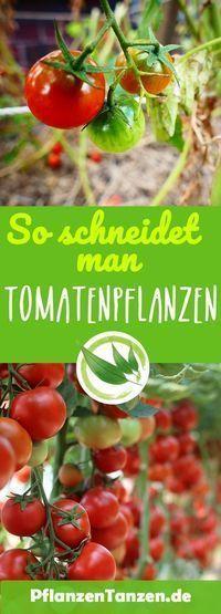 【ᐅ】Tomatenpflanzen schneiden – so geht es richtig ✿ 2019 #gemüsegartenanlegen