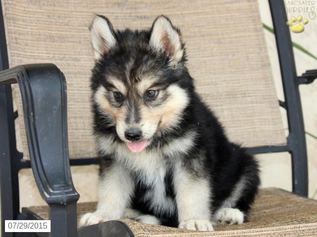 German Shepherd Husky Puppy For Sale In Pennsylvania German