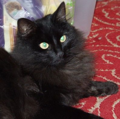 Long Haired Black Cat Black Cat Breeds Long Hair Cat Breeds