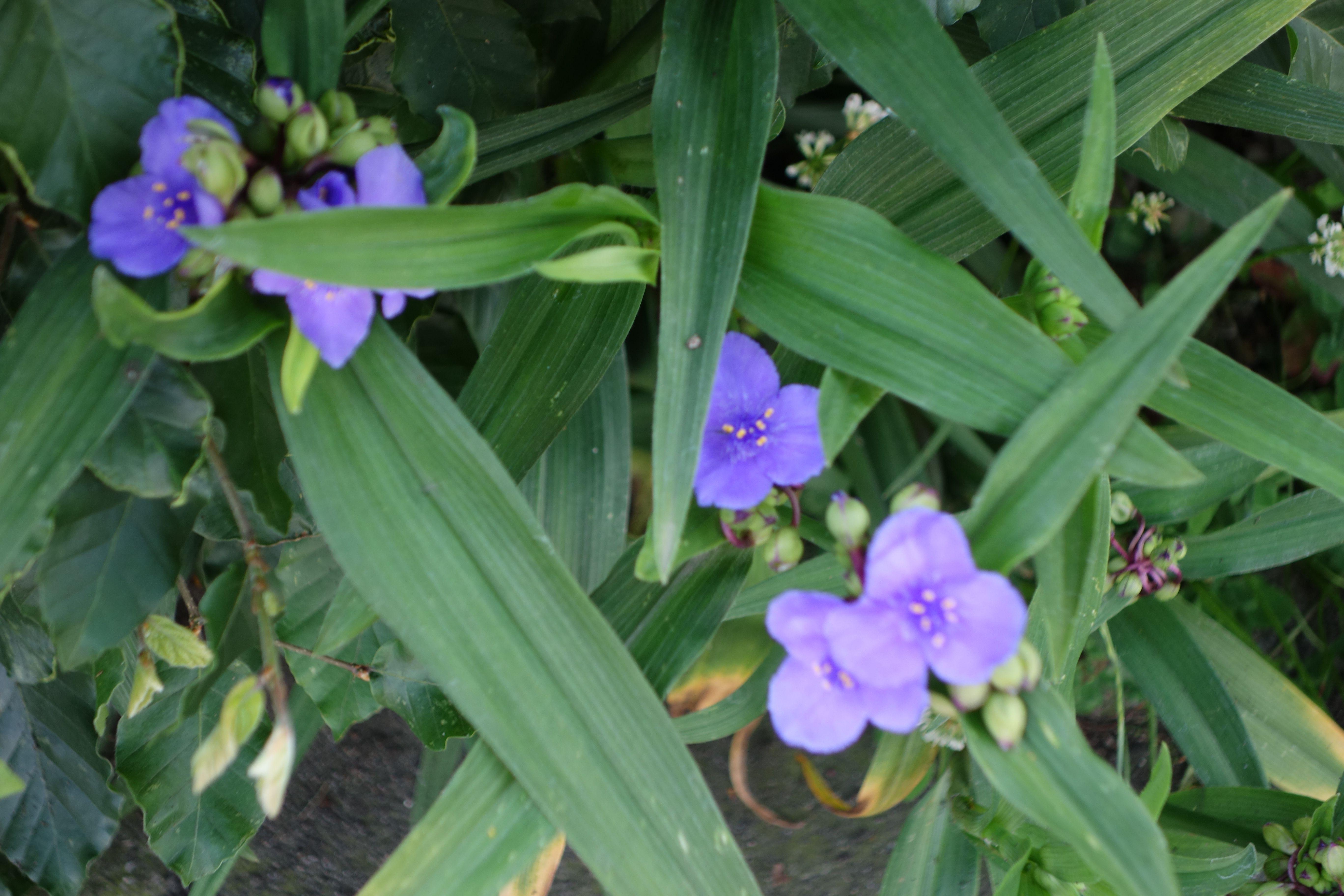 Eendagsbloem: de bloemen bloeien  slechts één dag met drie blaadjes per bloem. Vandaar de naam. Je hebt deze plant in paars, wit en roze. Hij maakt ondergronds wortelstokken aan. Gewoon afsteken als ie teveel gaat uitlopen. Soms gaat deze plant liggen. Dat is jammer en oogt meteen onverzorgd. Slakken vinden hem ook lekker.