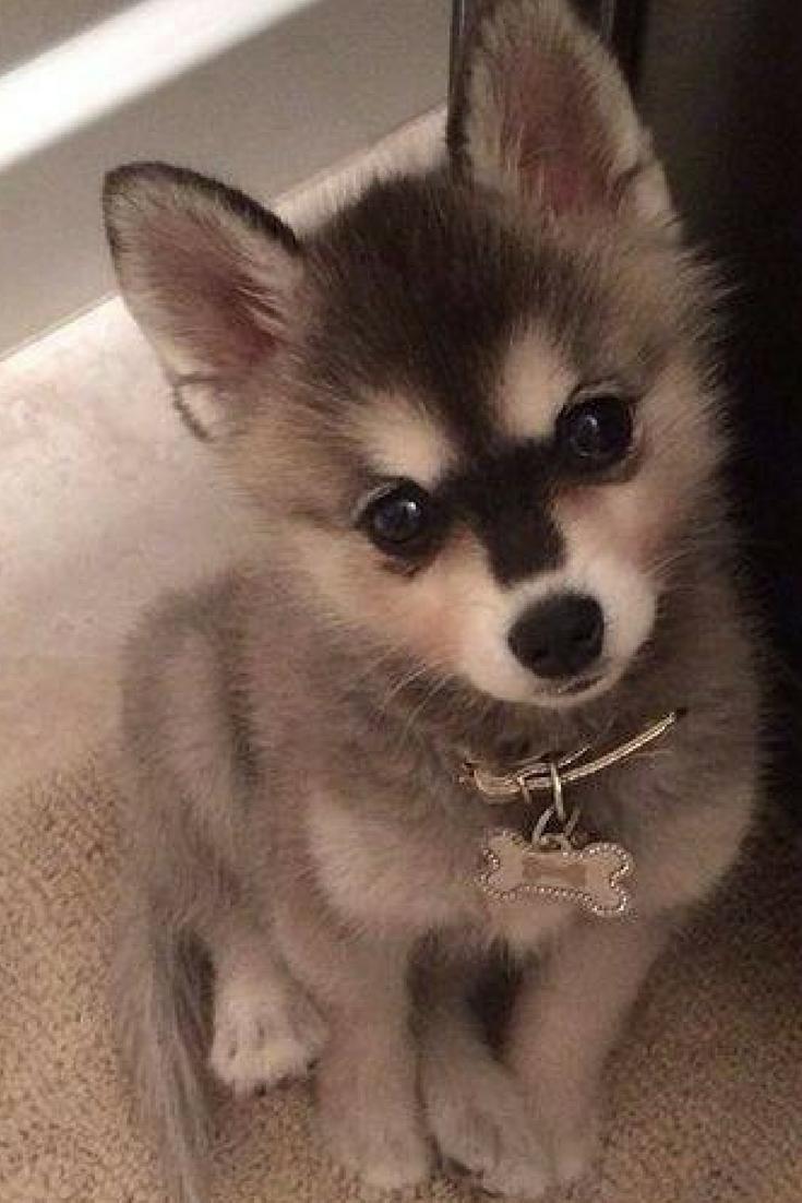 Alaskan Klee Kai Puppy. Cute Baby Animal. #babyhusky