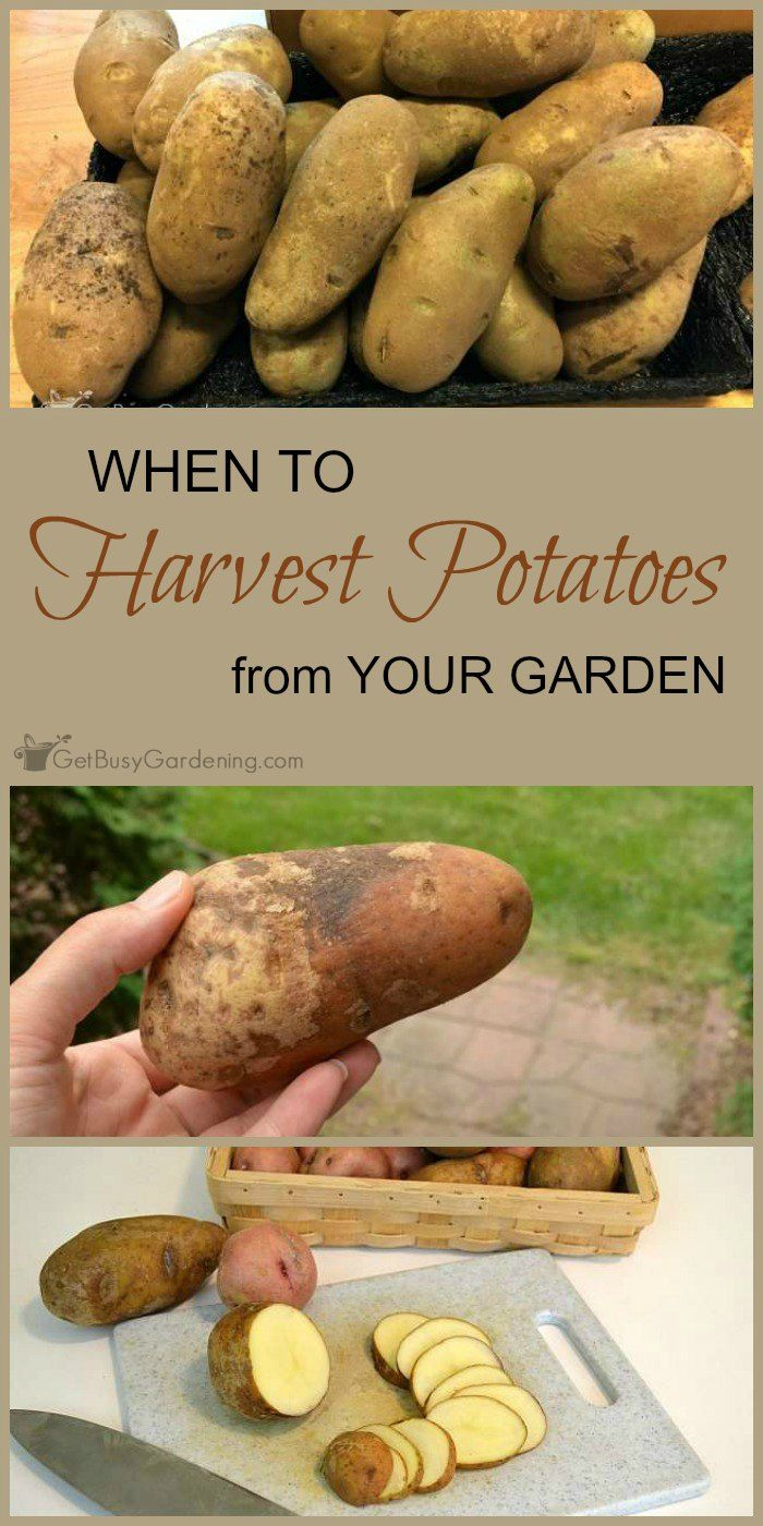 When To Harvest Potatoes From Your Garden | Gardening Tips & Ideas ...