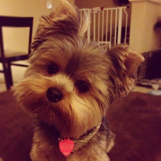 Image Result For Yorkie Haircuts With Floppy Ears Pets Pinterest