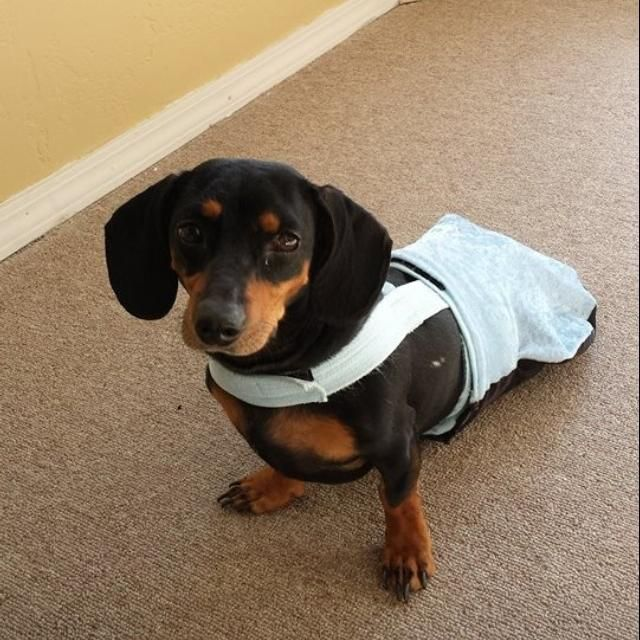 Pin On Dachshunds Wearing Doggie Essentials