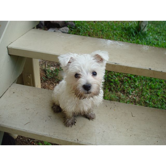Westie Puppy Westie Puppies Westie Dogs Cute Dogs
