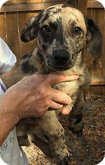Fort Myers Fl Dachshund Mix Meet Dapple A Puppy For Adoption