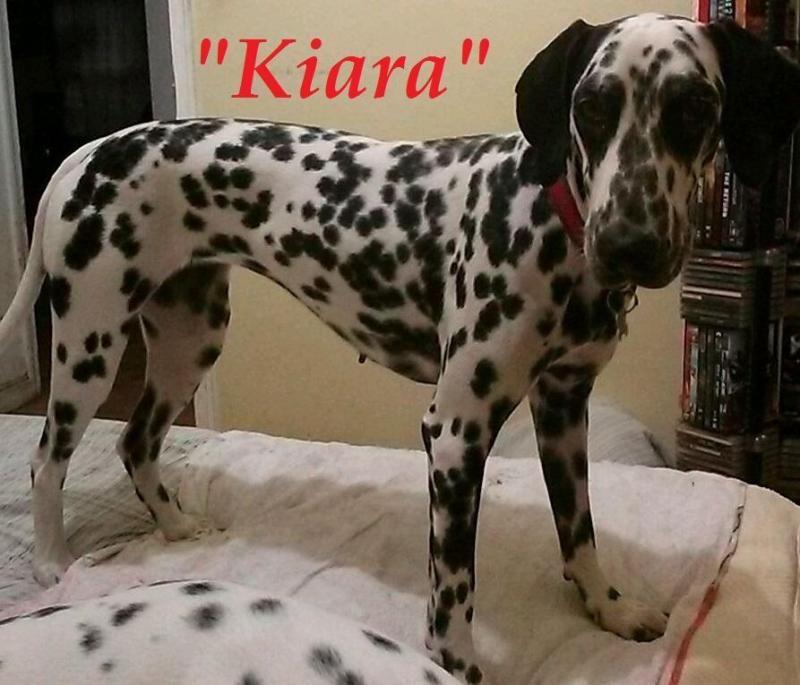 Adopt Kiara On Dalmatian Rescue Dogs Dalmatian Dogs