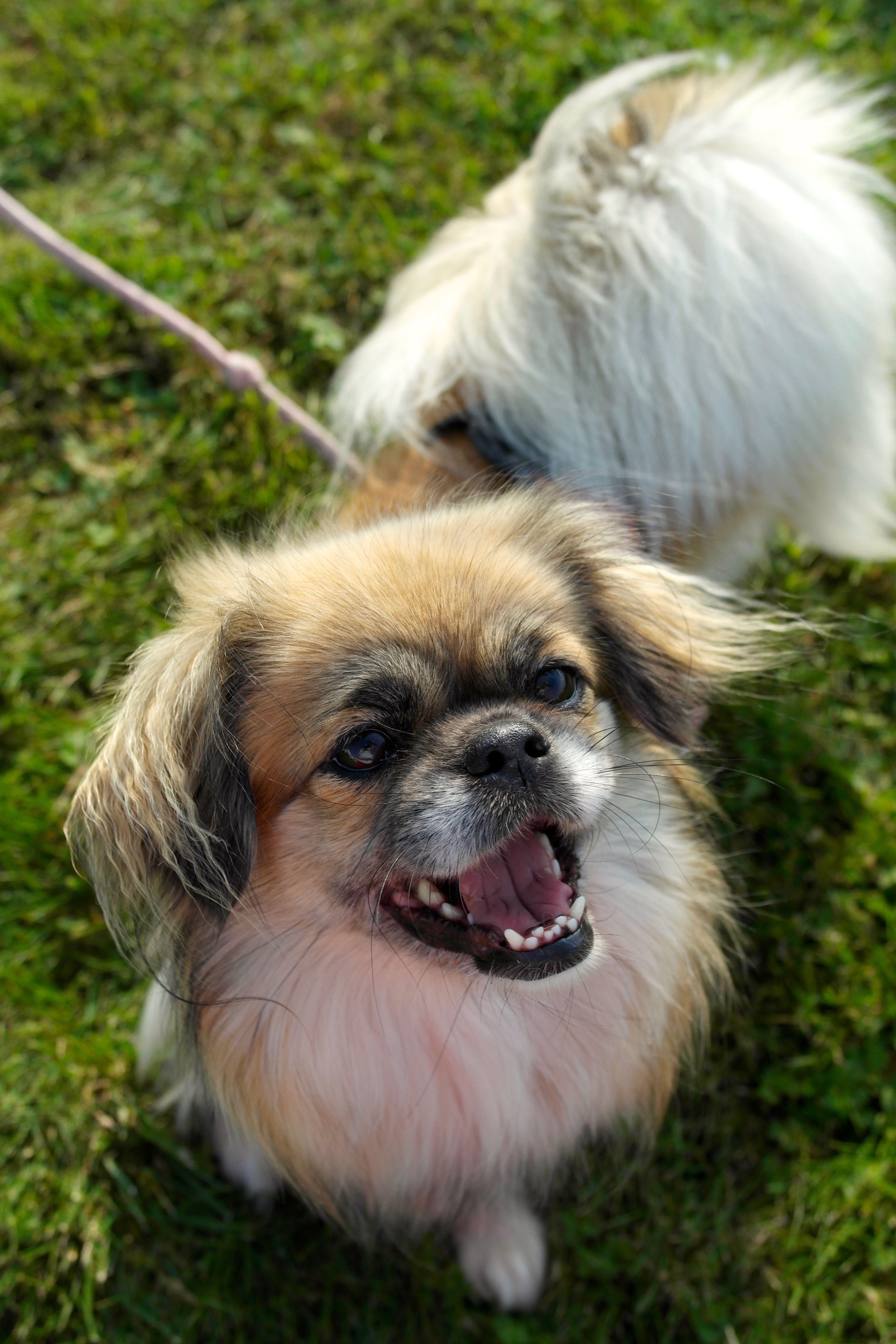 My Beautiful Senior Tibetan Spaniel Dog Named Lucky Who Is 8 Years Old Next Month Spaniel Dog Tibetan Spaniel Dogs