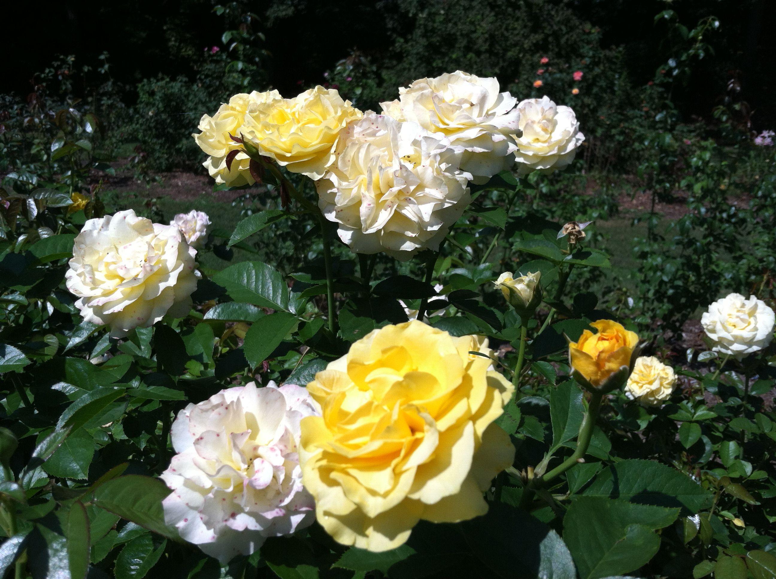 Rose Garden, Raleigh, NC Rose, Simply beautiful, Rose garden