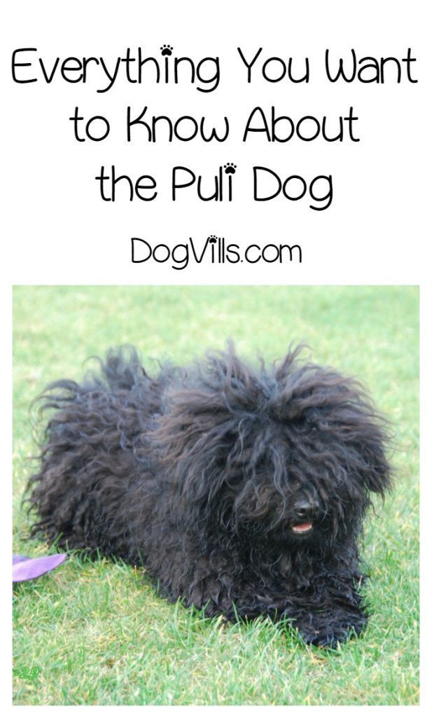 Are Puli Hypoallergenic Dog Breeds Matted Dog Hair Dog Hair Hypoallergenic Dog Breed