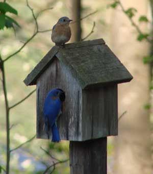 How to attract bluebirds to your garden   Backyard birds ...