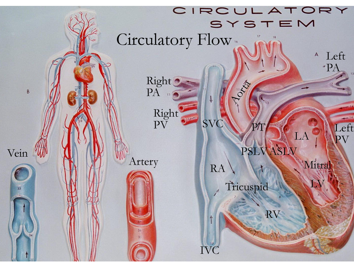 medium resolution of circulatory system heart valves anatomy heart anatomy mitral valve anatomy and physiology