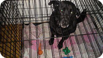 Toronto Gta On Labrador Retriever Mix Meet Majesty A Dog For Adoption Http Www Adoptapet Com Pet 16890395 Torontogta Ontario La Ich Bin Immer Fur Dich Da