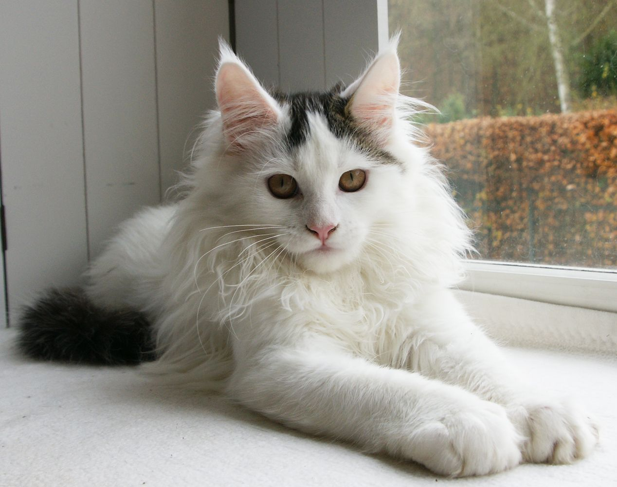 Pin Na Doske Maine Coon Cat