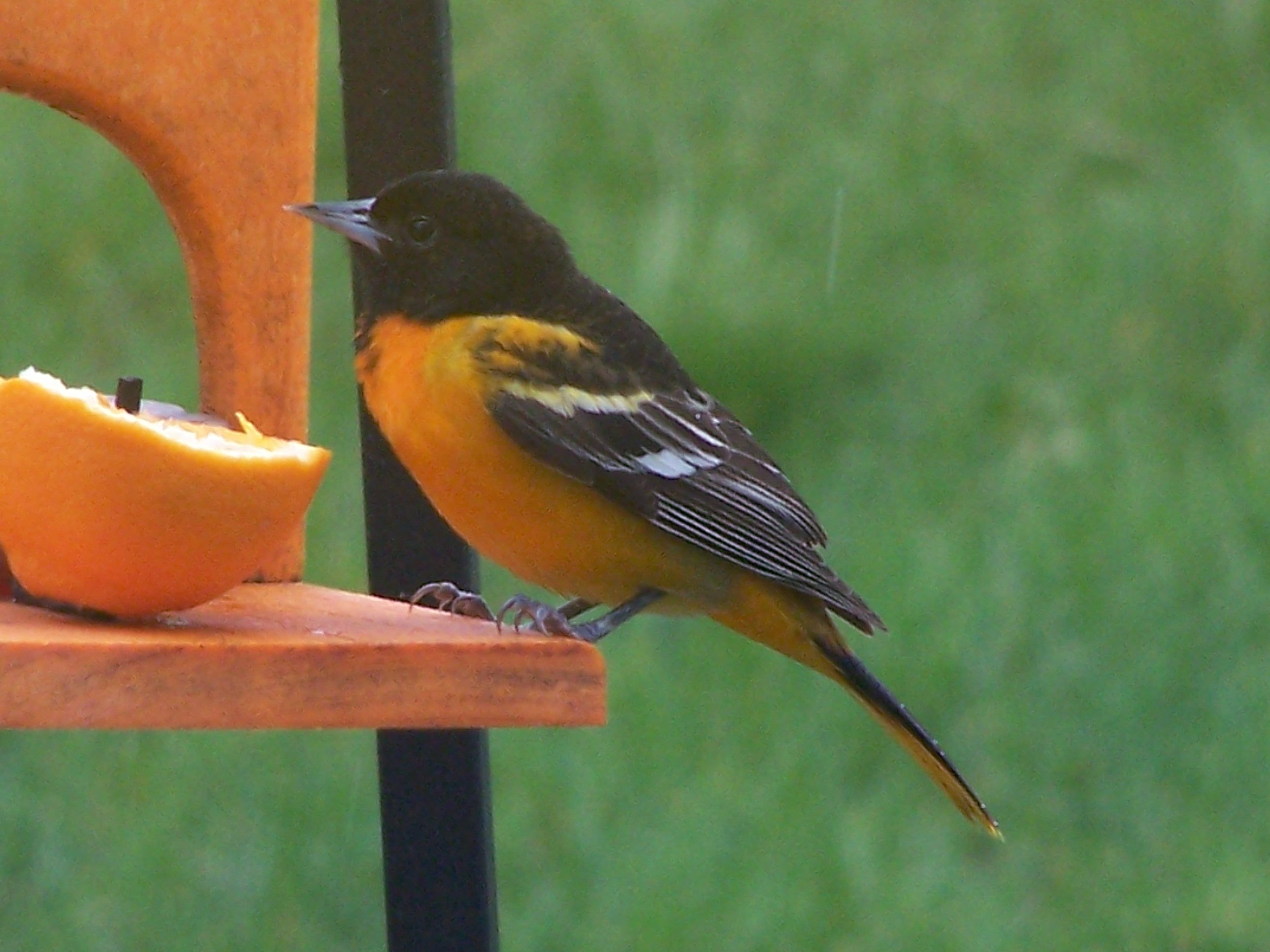 Beautiful oriole eating oranges and jelly!!!