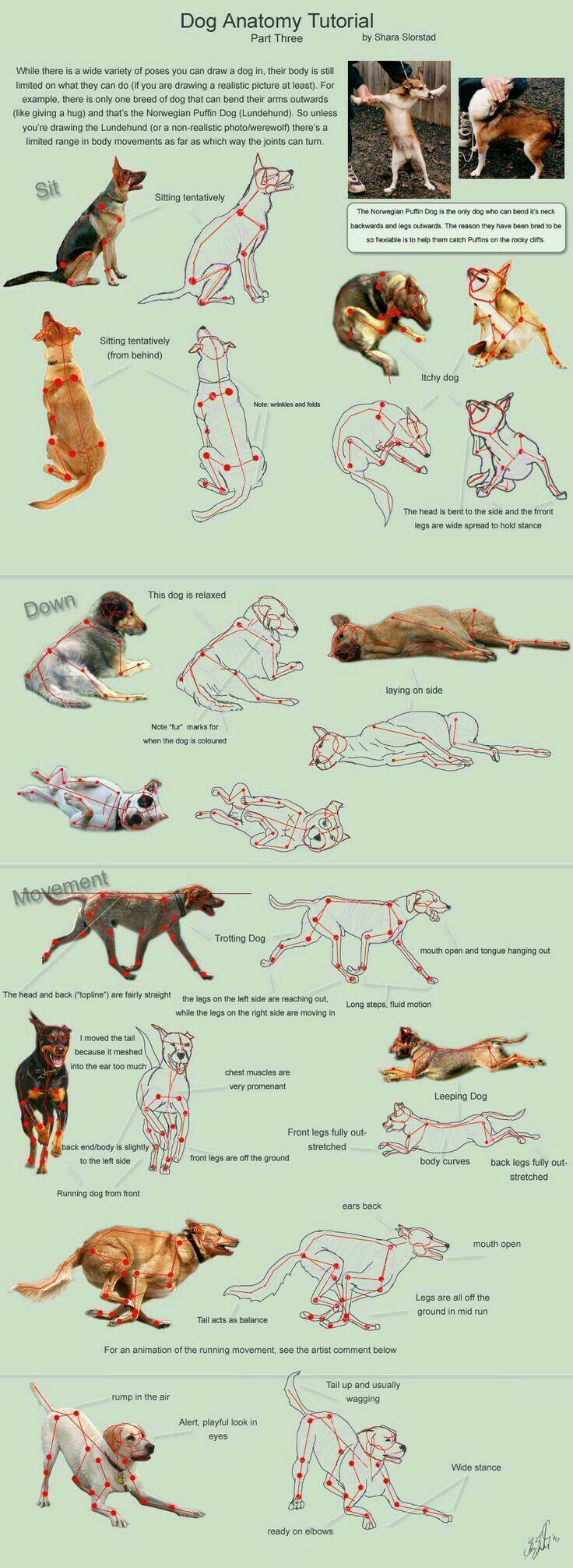 Dog Anatomy Tutorial | Drawing Tutes | Pinterest | Dog anatomy ...