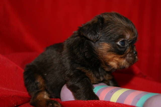 Yorkie And Brussels Griffon Mix Pups Brussels Griffon Puppies