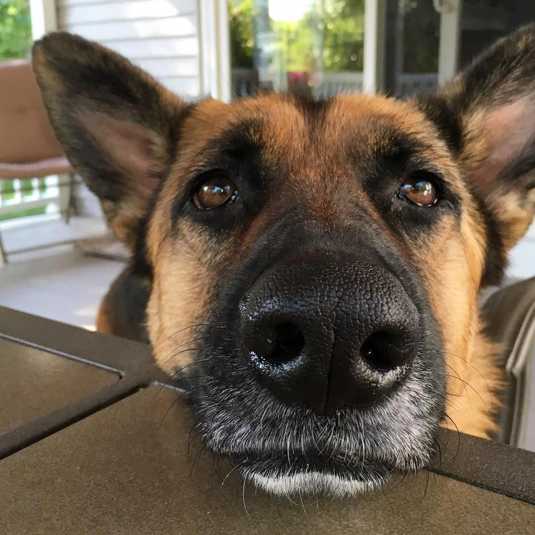 The Many Things I Admire About The Courageous German Shepherd