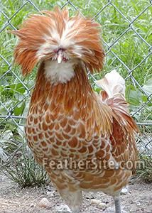 A Kind Of Blown Up Hair Style Polish Bantams Chickens And Roosters Beautiful Chickens Polish Chicken