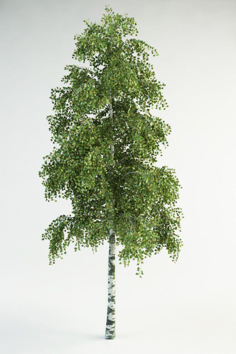 3d Model Realistic Birch 3d Model Betula Pendula Trees To Plant Landscape Design Drawings