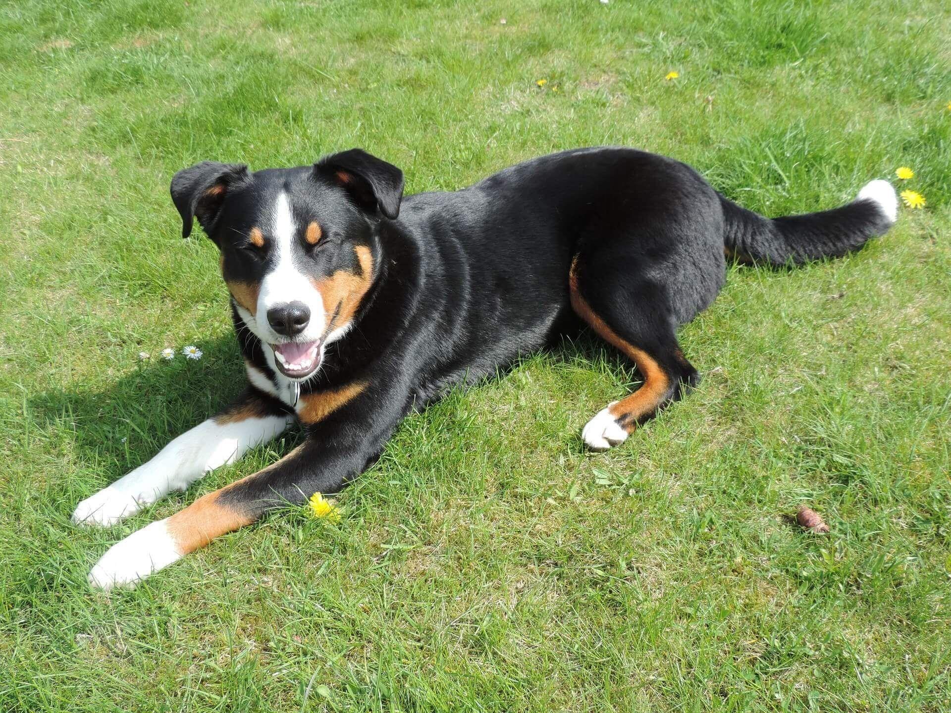Appenzeller Sennenhund Erziehung Die 7 Besten Tipps In 2020 Sennenhund Hunde Hundchen Training