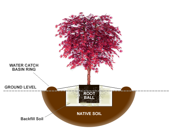How To Plant A Japanese Maple Tree In The Ground Wilson Bros