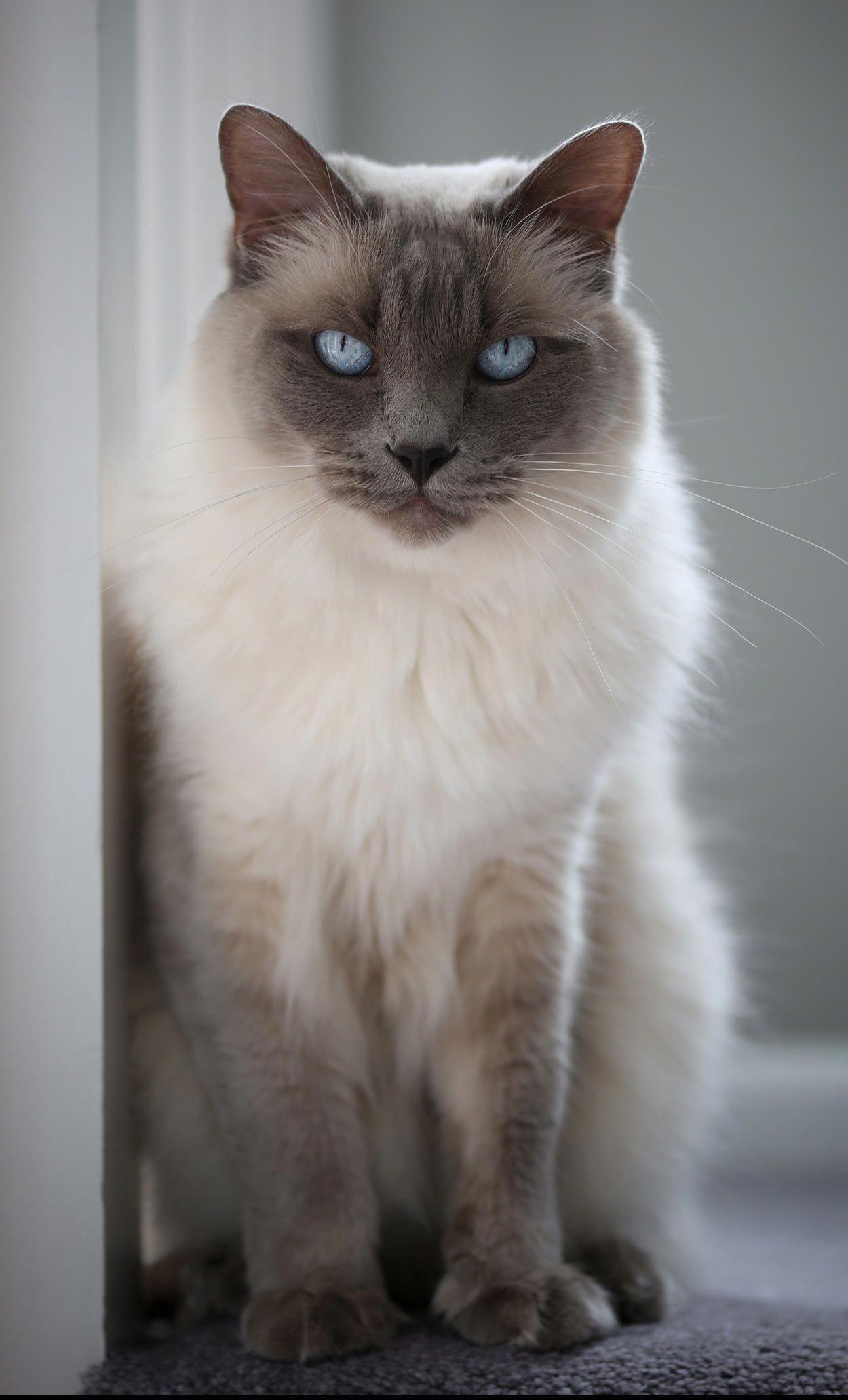 balinese cat names Balinese cat, Cat names