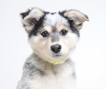 Top Australia Chubby Adorable Dog - 8071f6646b949e1a160338c67fc9c22b  2018_60904  .jpg