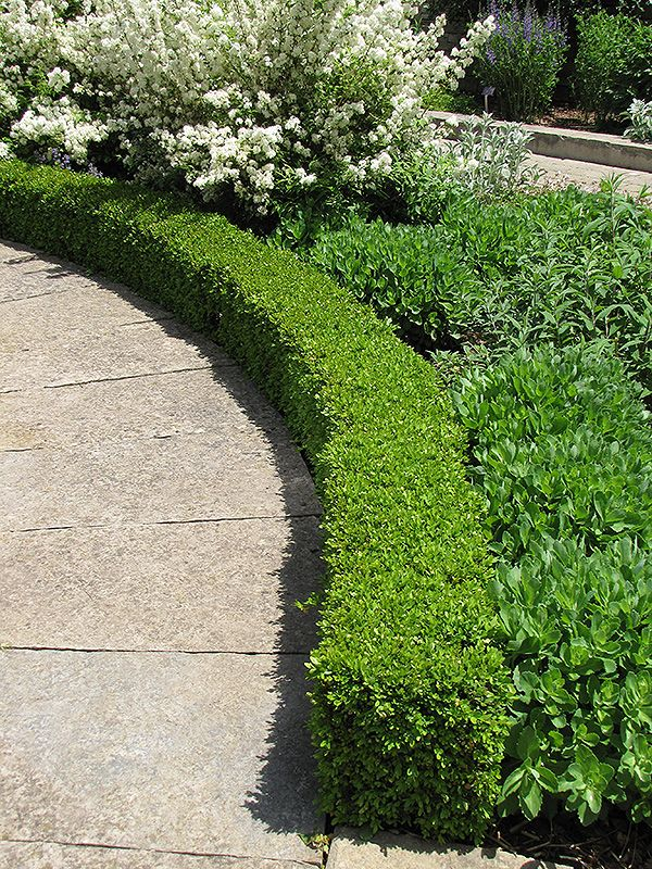 Click to view full-size photo of Green Velvet Boxwood (Buxus \'Green ...