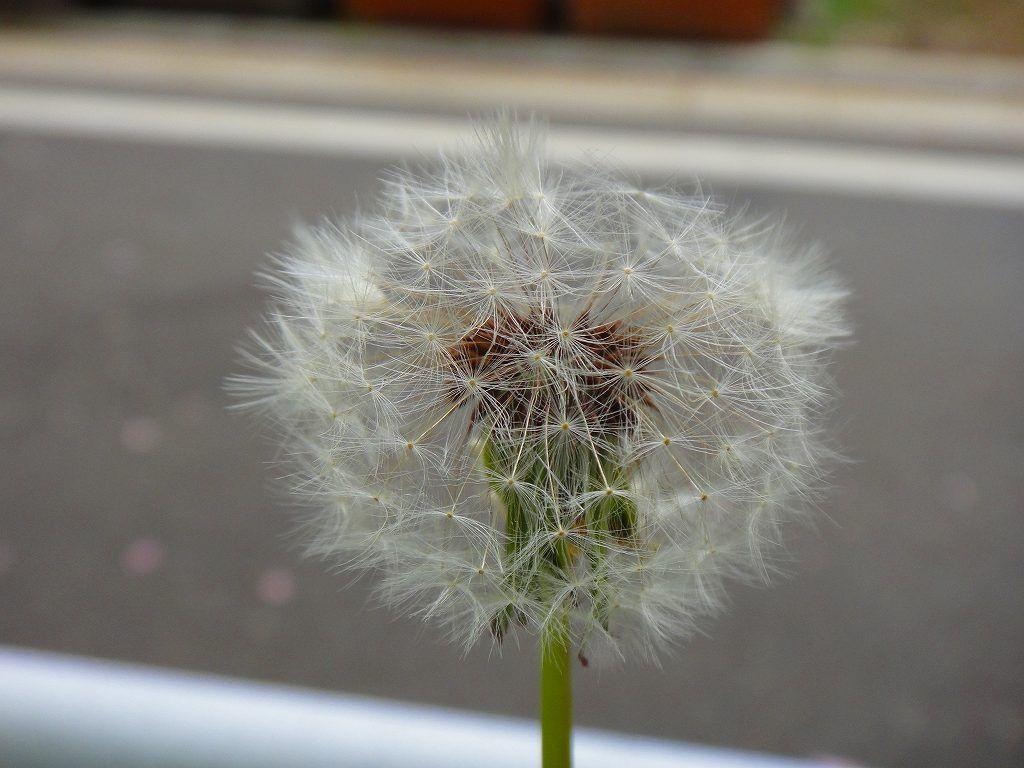 「たんぽぽ綿帽子」 柿の木坂遊歩道  2012/05/01