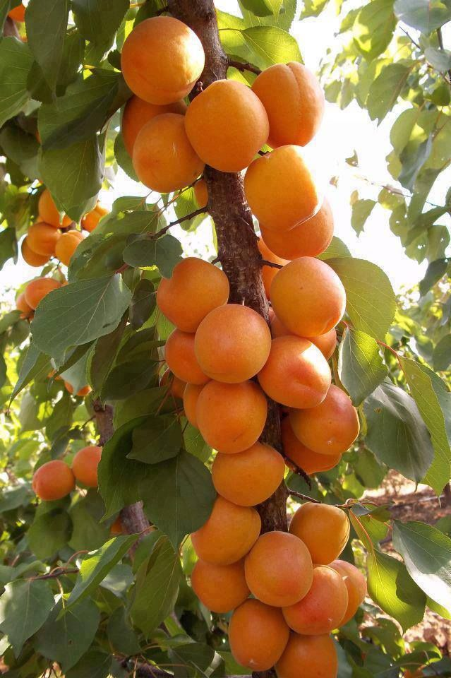 Just Planted An Apricot Tree I Hope Mine Looks Like This One Fine