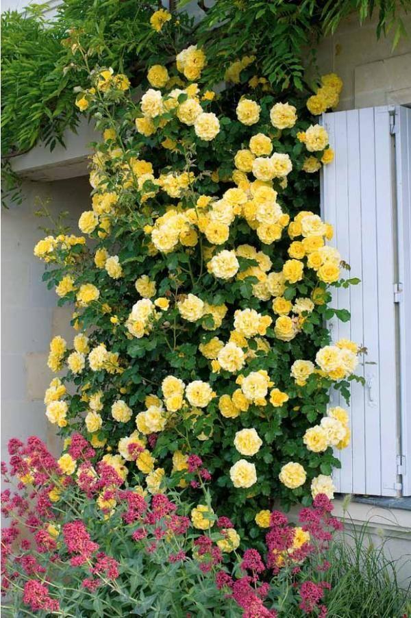 ravishing house plants care. Doors Pin by Shannon Oleary on Ravishing Roses  Pinterest