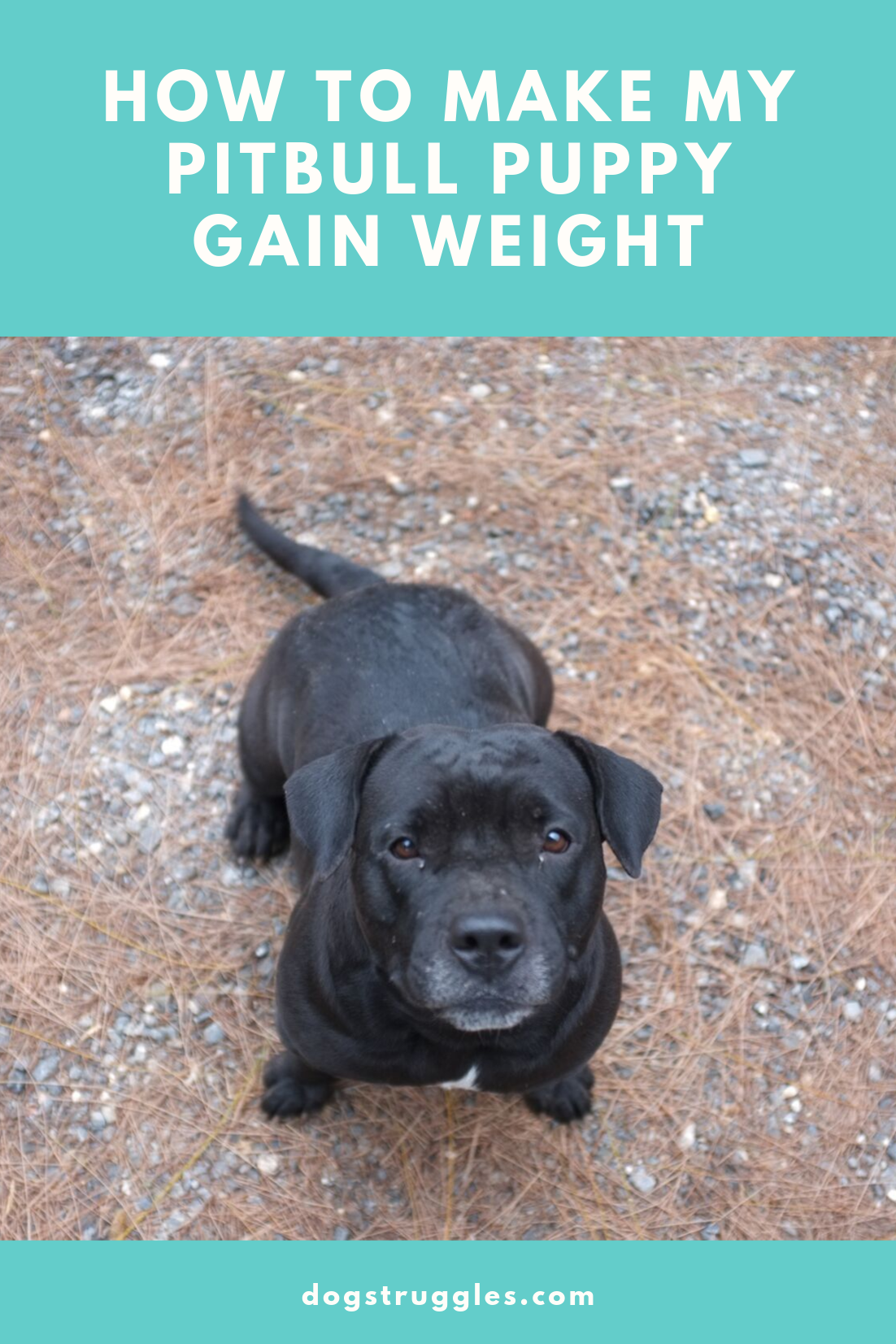 how to make a pitbull puppy gain weight