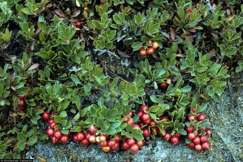 kinnikinnick - evergreen ground cover  Pair with red twig