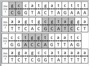 Transcription and translation model activity activities students transcription and translation model activity transcriptionproteinbiologygeneticscrosswordpuzzlednacrossword puzzlespuzzles fandeluxe Images