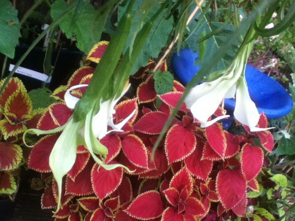 Brugmansia 'culebra' angels trumpet against coleus rusty