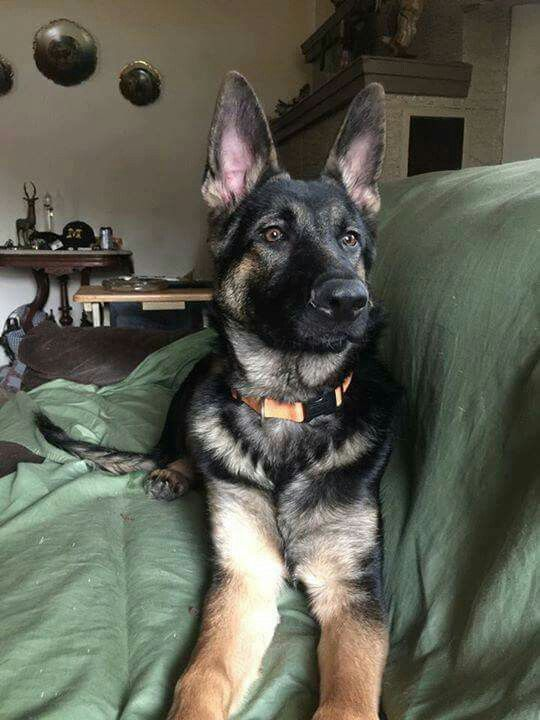 Cooper 6 Months Very Handsome Dude German Shepherds