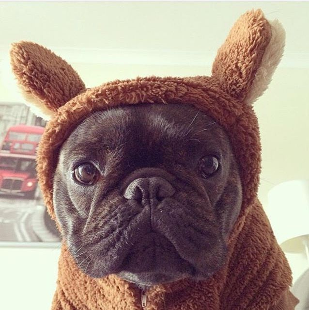 French bulldog wearing bear suit French bulldog puppies