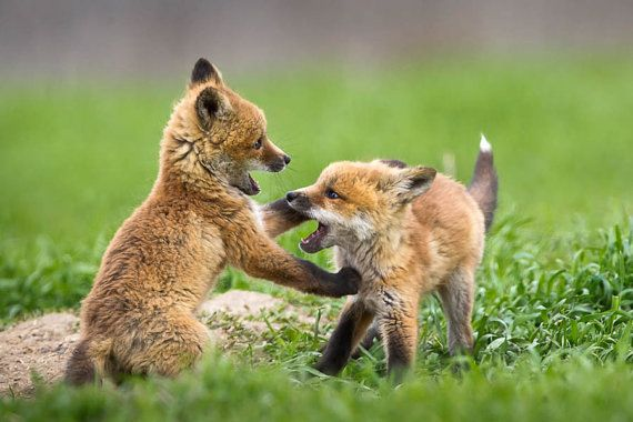 Red Fox Kits Wildlife Photography Fine Art Nature by RobsWildlife