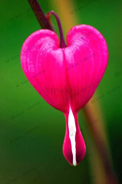 103 Heart Orchid Seeds Dicentra Spectabilis Seeds Bleeding Heart Classic Cottage Garden Plant Seeds For Bleeding Heart Flower Small Pink Flowers Orchid Seeds