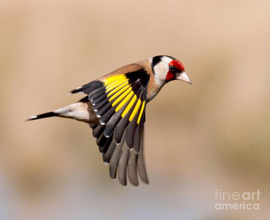 Http Images Fineartamerica Com Images Medium Large Goldfinch In Flight Margaret S Sweeny Jpg Pajaros Silvestres Jilguero Pájaro De Acuarela