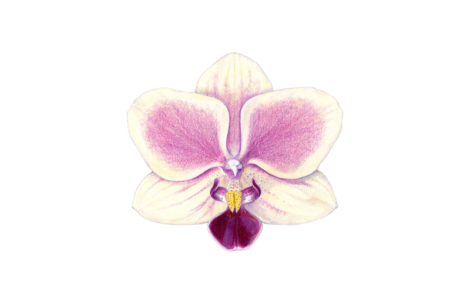 Image result for drawing color pencils orchid