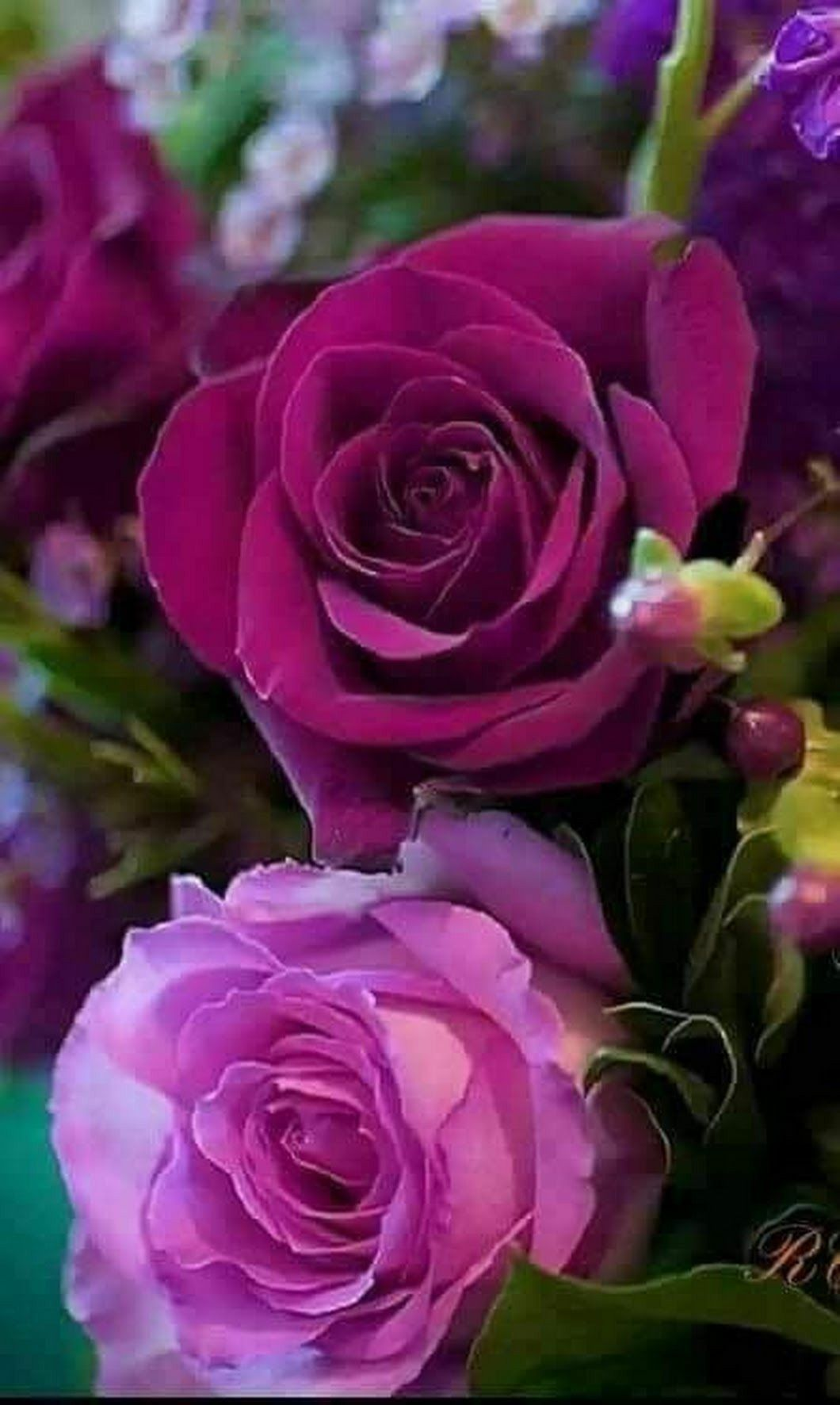 Fotografiya Rosas De Cha Hibridas Rosas Lindas E Flores Bonitas