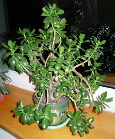 how to care for and propagate the jade plant money plant or crassula ovata house plants. Black Bedroom Furniture Sets. Home Design Ideas