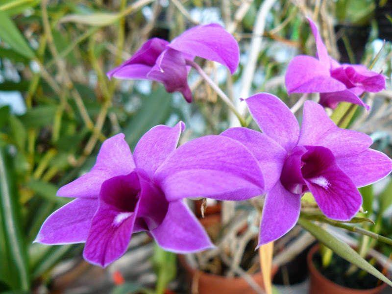 Dendrobium Orchidwood Bigibbum X Phalaenopsis Par Irene Orchidaceae Phalaenopsis Flowers
