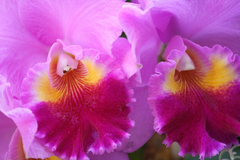 Cattleya The Iconic Orchid Orchid varieties, Orchids