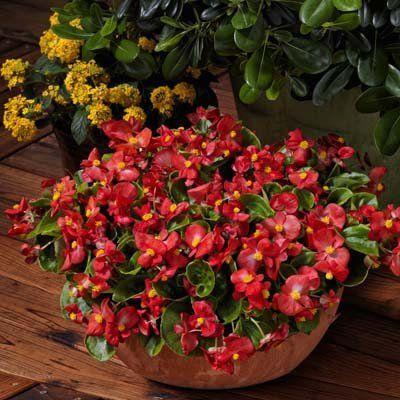 Begonia Topspin Scarlet F1