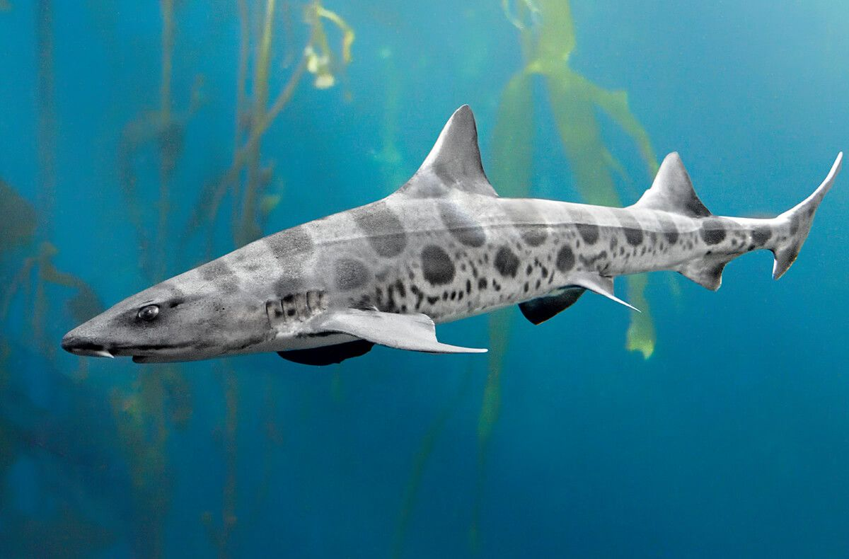 Image result for leopard shark free commercial | Fish: Salt and ...