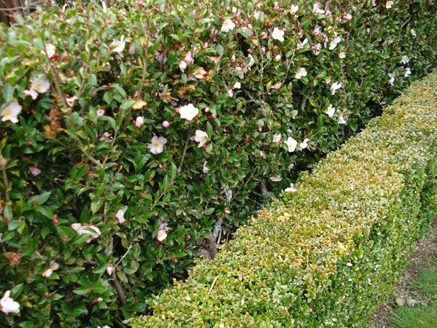 Camellia With Boxwood Formal Garden Design Garden Design Hedges